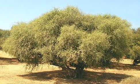 drzewo arganowe biokosmetyki24.com
